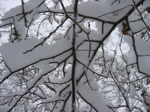 snow in tree branches